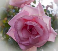 A single pink rose