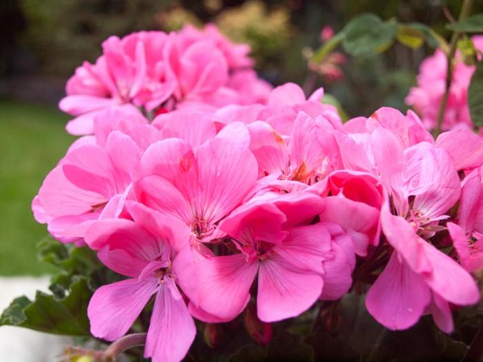 Geraniums in full bloom