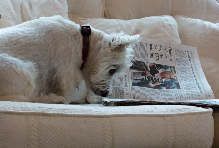 westie reading the paper